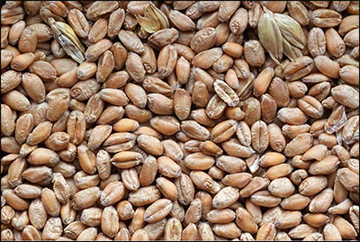 Wheat - MU Variety Testing